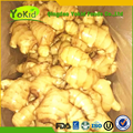 low price good product chinese fresh ginger