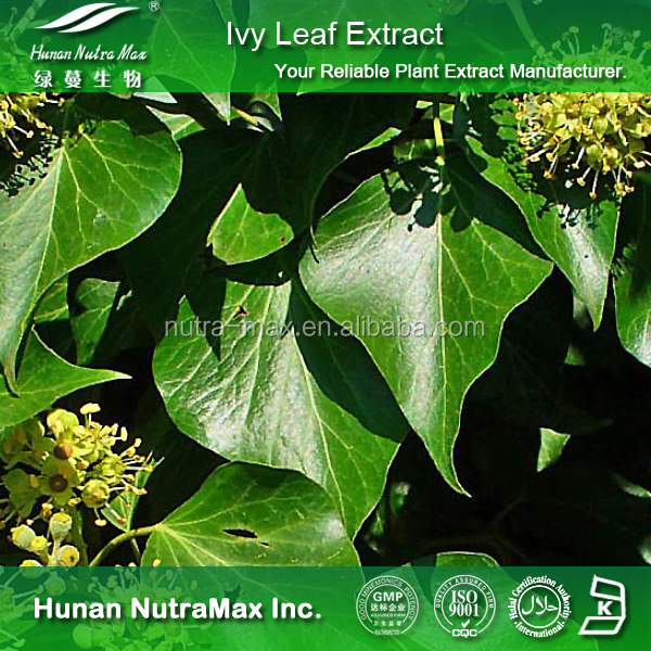 New Batch Ivy Extract,Ivy Leaf Extract,Ivy Extract Powder 4:1 5:1 10:1 20:1
