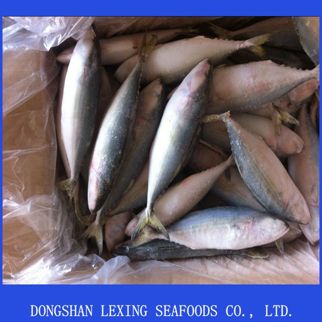 Supply frozen indian mackerel fish