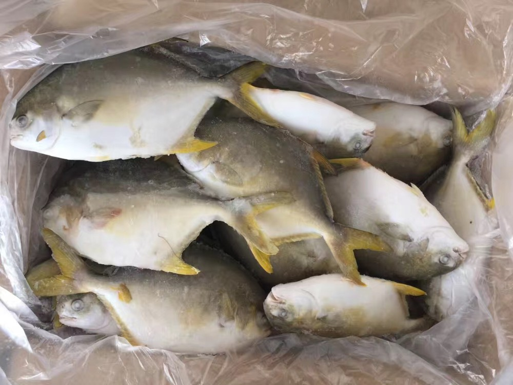 New Coming Frozen Fish Golden Pomfret