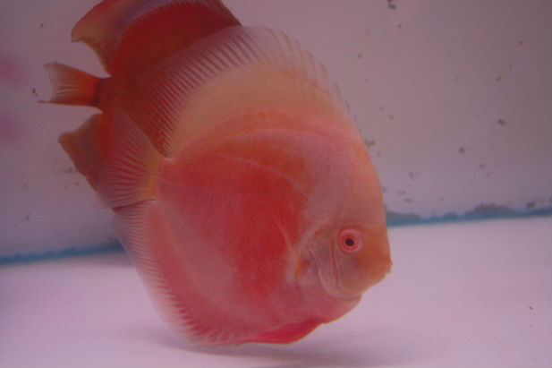 Albino Red Discus
