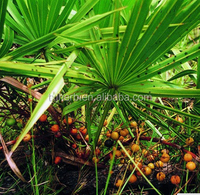 saw palmetto seed plant extract in india