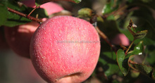 Red Fuji apple export company, country of origin