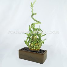 Lucky Bamboo Arrangement for Different Sizes
