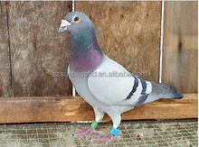 plastic Bird leg bands/rfid ring tag for pigeon