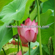 Chinese Lotus seeds for planting