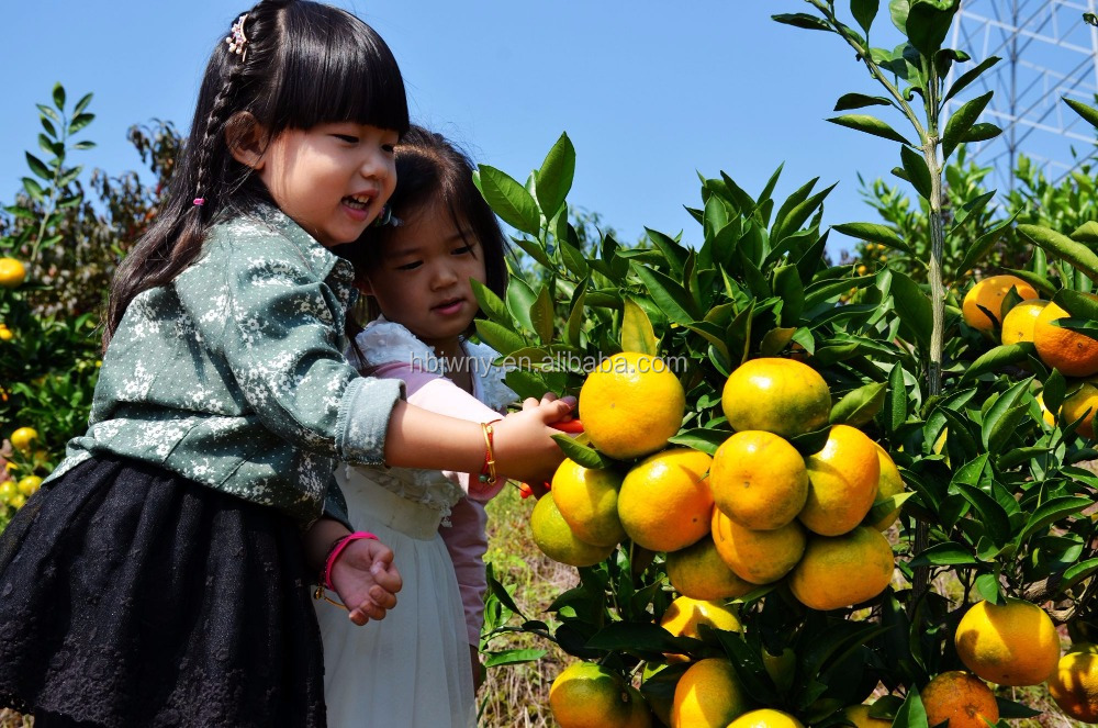 Fresh sweet mandarin orange fruit supplier