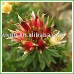 Rhodiola Rosea Extract ON SELL
