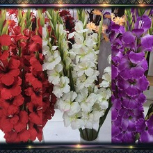 big gladiolus flower bulbs