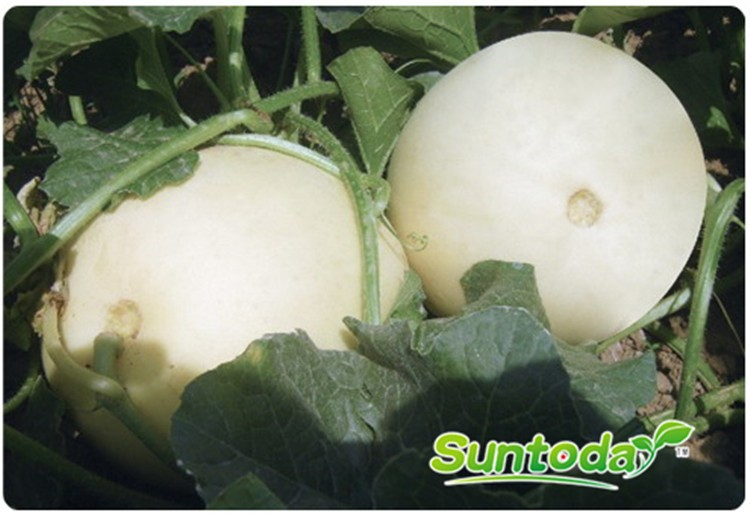 Suntoday easy picking white flesh melon seeds(11018)