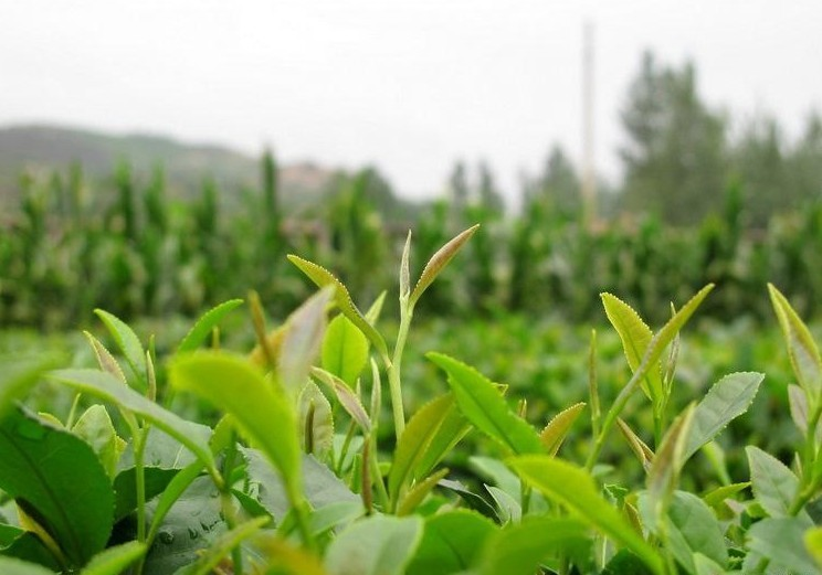 Chinese Green Tea Leaf Extract powder 50%-98% Tea Polyphenols