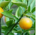 High quality Citrus P.E