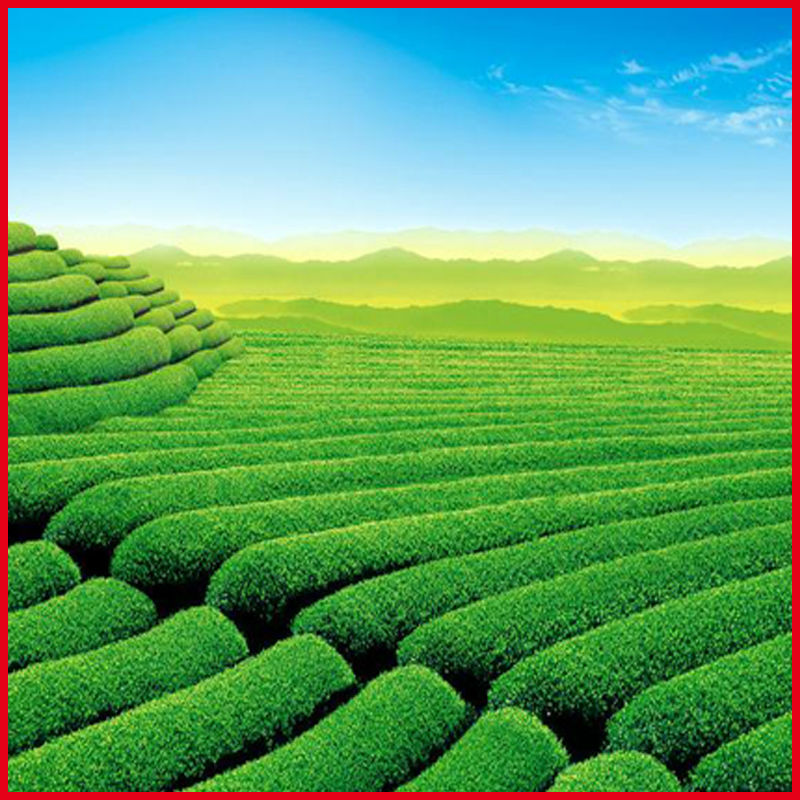 Green Tea Extract 20% L-Theanine / Camellia sinensis O. Ktze. Extract
