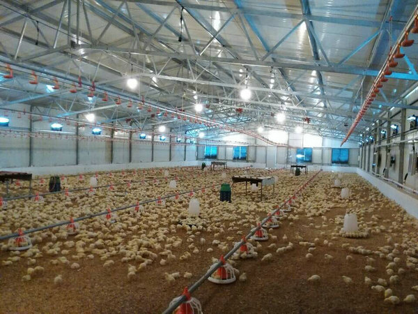 design poultry and layer egg broiler chicken farm