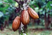 cocoa Beans Plantation for sale /Lease