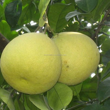 Touchhealthy supply pomelo seeds for planting as fruit tree seeds
