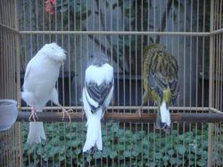 Live Canaries, Finches, Yorkshire, Lancashire, Love Birds