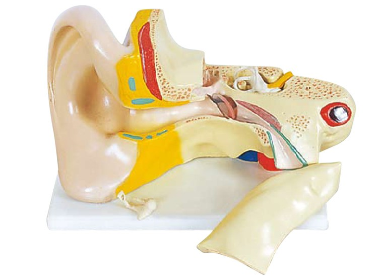 High Quality Anatomical Human Ear Model 3times of life size for teaching model