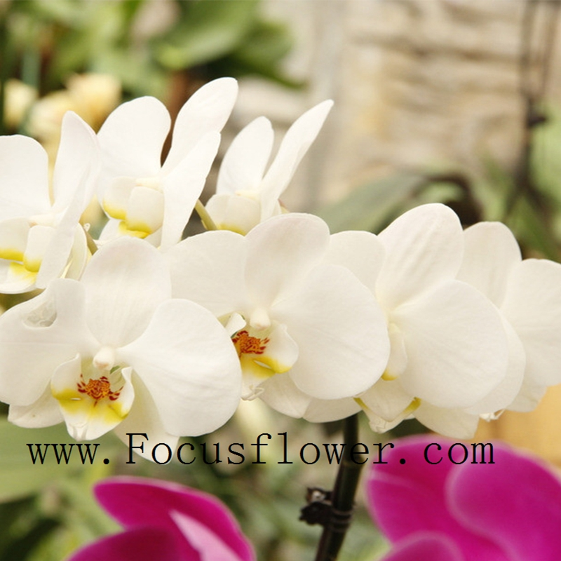 Fresh orchids with variety of colors wedding decoration orchid flower from KUNMING on sale