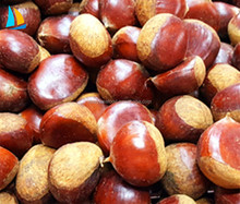 2016 Chinese Organic Fresh Raw Sweet Chestnuts for Sale