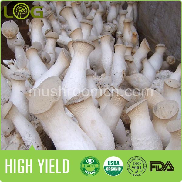 Fresh Growing King Oyster Mushroom Log Spawn Cultivating