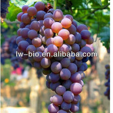 90% polyphenols grape seed extract