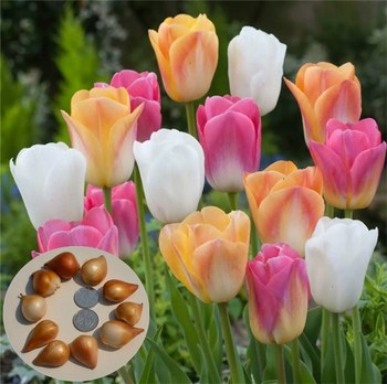 Yu jin xiang New arrival natural Chinese flower seeds tulip bulb seeds price