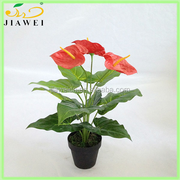 wholesale small table anthurium plant