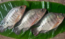China seafood exporter fresh frozen black whole round live tilapia
