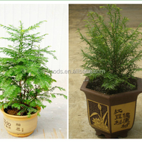 Hong Dou Shan Best Selling Cheap Taxus Baccata Seeds