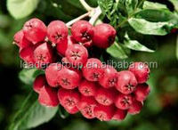 Leader-12 Factory Price High Quality Chokeberry Extract