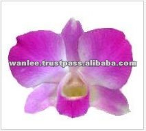 Thailand Best Quality D-007 Dendrobium Anna Orchid