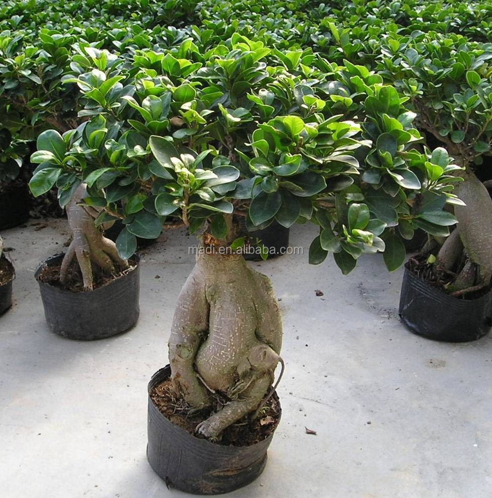 Bonzai Tree chinese mini bonsai tree natural ficus ginseng - buy ginseng ficus