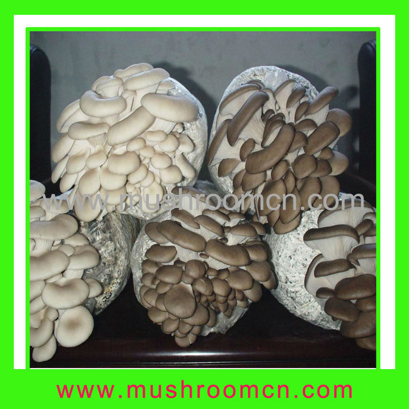 1.8-2kg weight, yield 0.8-1kg oyster mushroom logs for sale
