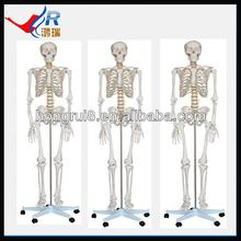 2013 budget human skeleton model,biological skeleton model
