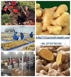 fresh ginger new crop coming! Good price
