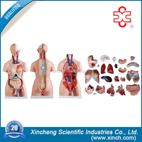 model 204 science exhibition manufacturer torso anatomy models