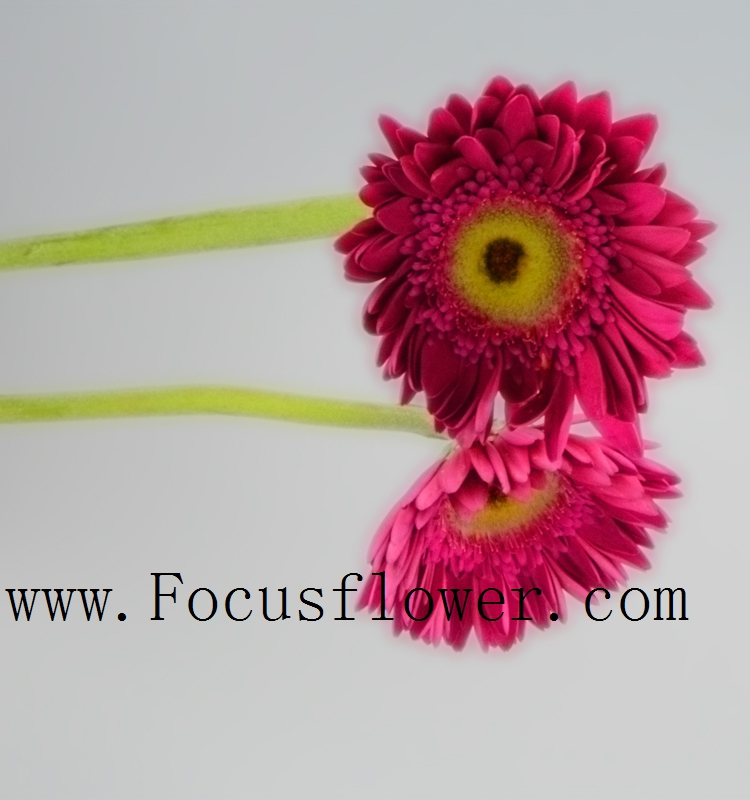 Relieved delivering service Exotic Fresh Cut Flowers Gerbera Flowers Export Southeast Asia multi-purpose from Kunming
