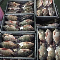 Best Freshness Frozen Black Tilapia Chinese