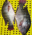 Top-rated frozen tilapia Supplier