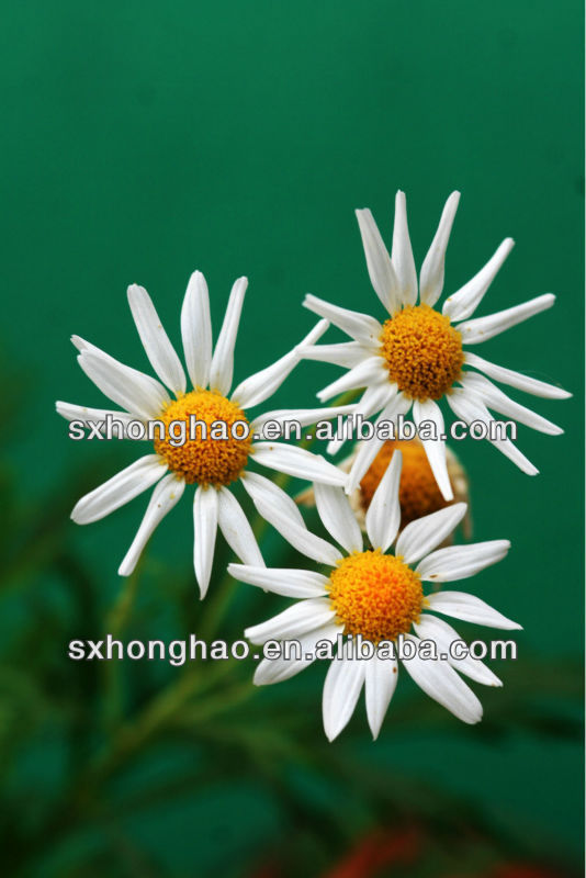 Pure Natural Feverfew Extract