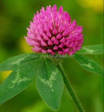 GMP High Quality Natural Red Clover Extract isoflavone