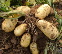 New season promotion of fresh potatoes