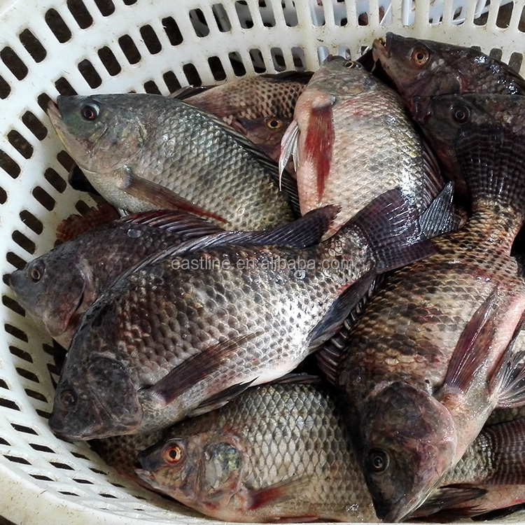 Best Quality Frozen Tilapia Whole Round Wholesale Price 500-800g Fresh Fish