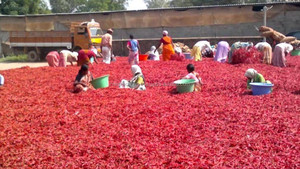 Byadgi Dry Red Chilli For Indonesia