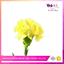 Fast delivery colorful flower carnation