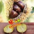New Crop fresh chestnut wholesale price