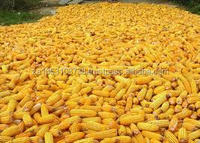 DELICIOUS YELLOW MAIZE