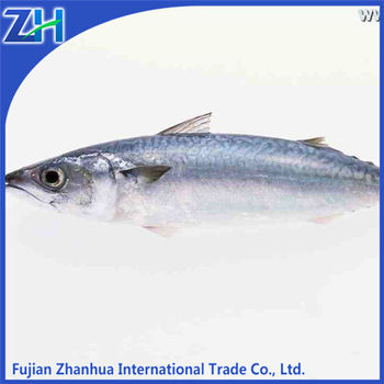 frozen pacific mackerel bait for sale