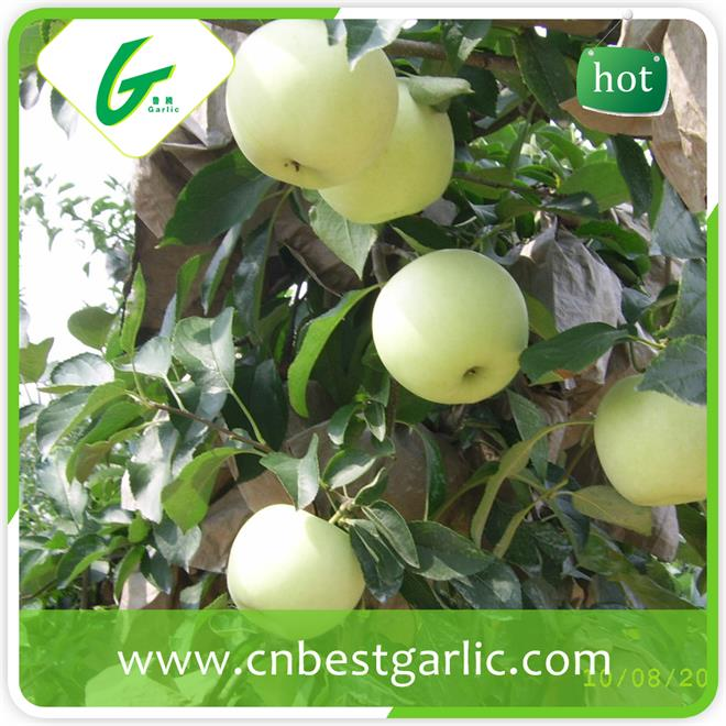 Top red golden delicious apple import from china